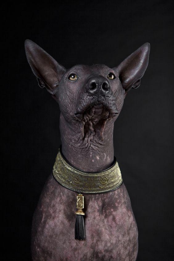 Razas de perro sin pelo Xoloitzcuintle