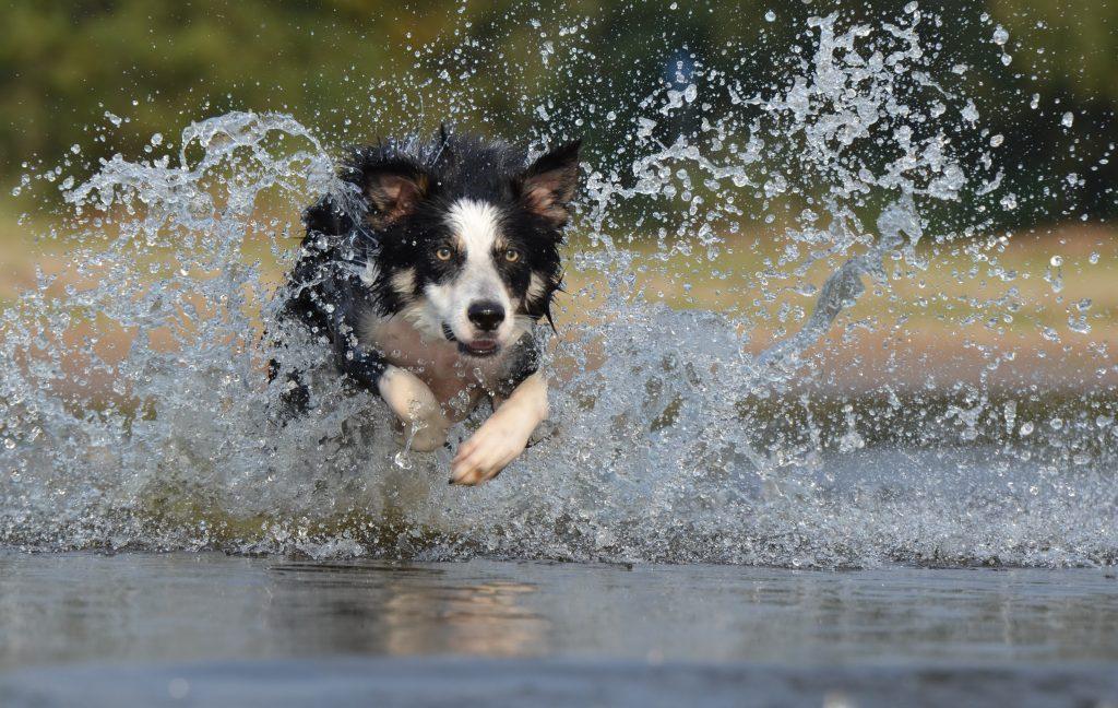 Razas de perros ideales para familias con niños border collie