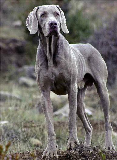 raza de perros alemanes braco de weimar