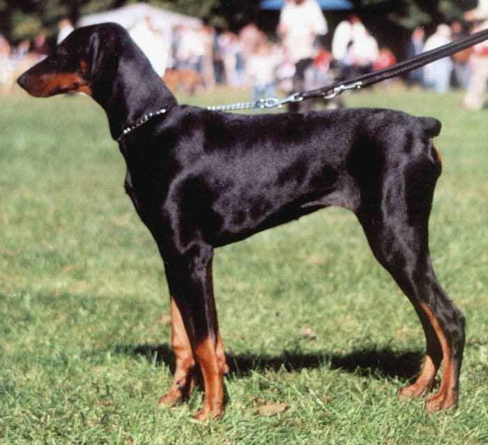 raza de perro doberman
