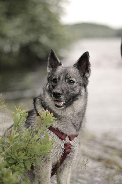 raza de perro elkhound noruego