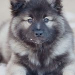raza de perro keeshond