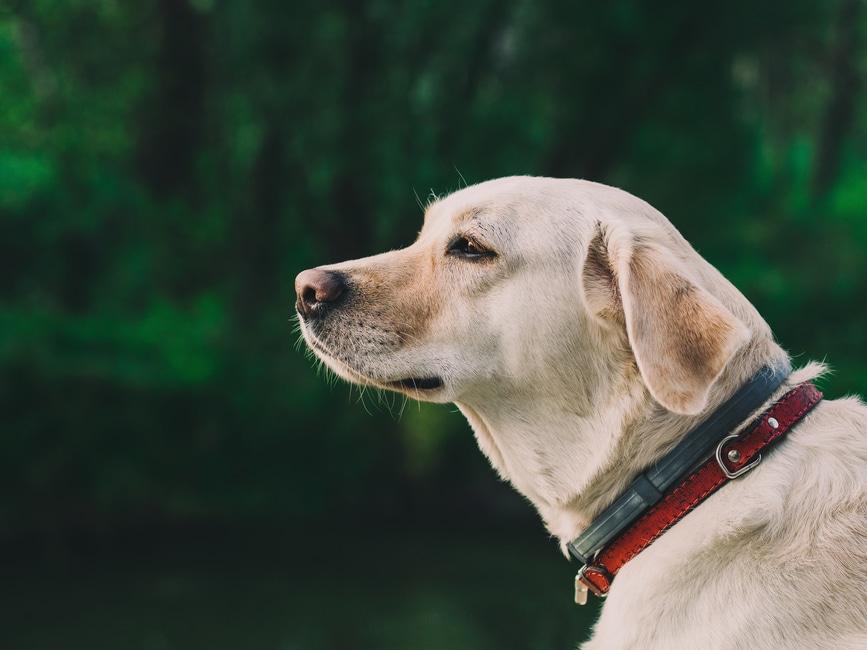 raza de perro labrador retriever