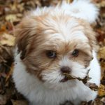 raza de perro lhasa apso