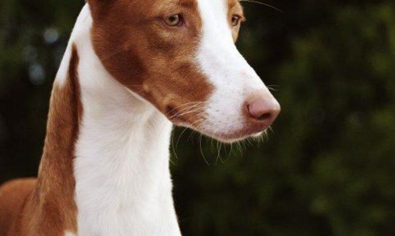 raza de perro podenco ibicenco