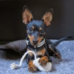 raza de perro ratón de Praga