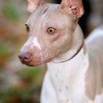 raza de perro terrier americano sin pelo