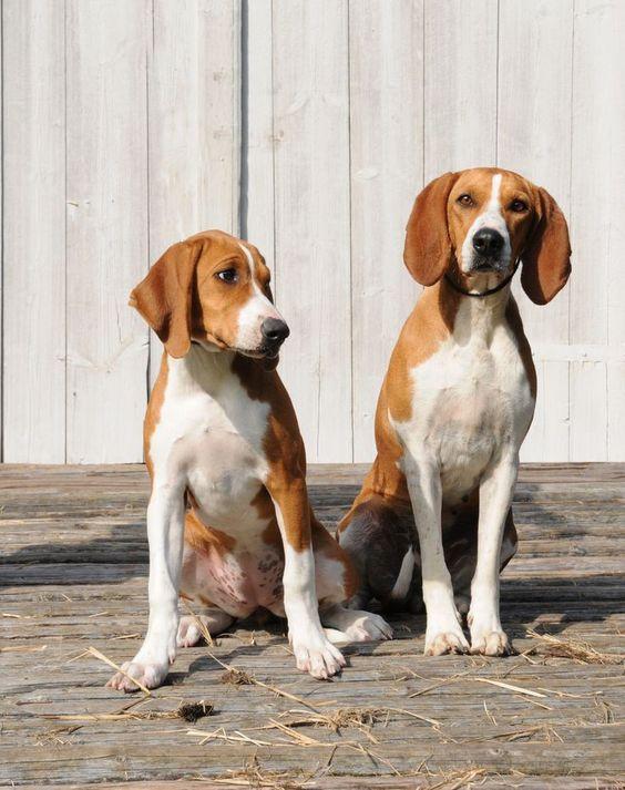 raza de perros Sabueso de Hygen