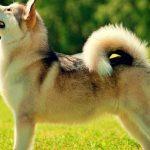 raza perro Alaskan Malamute