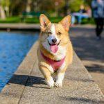 raza perro Welsh corgi Pembroke
