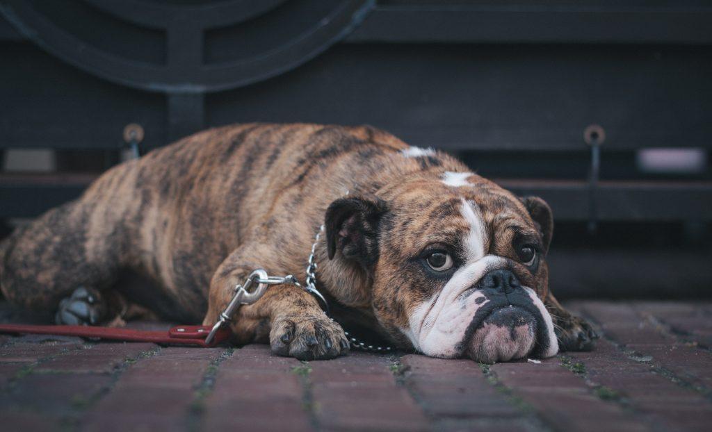 raza perro boxer