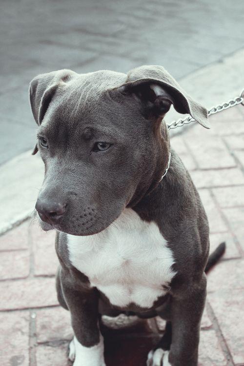raza pit bull terrier americano