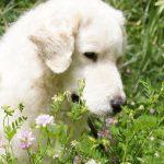 razas de perros glotones Kuvasz