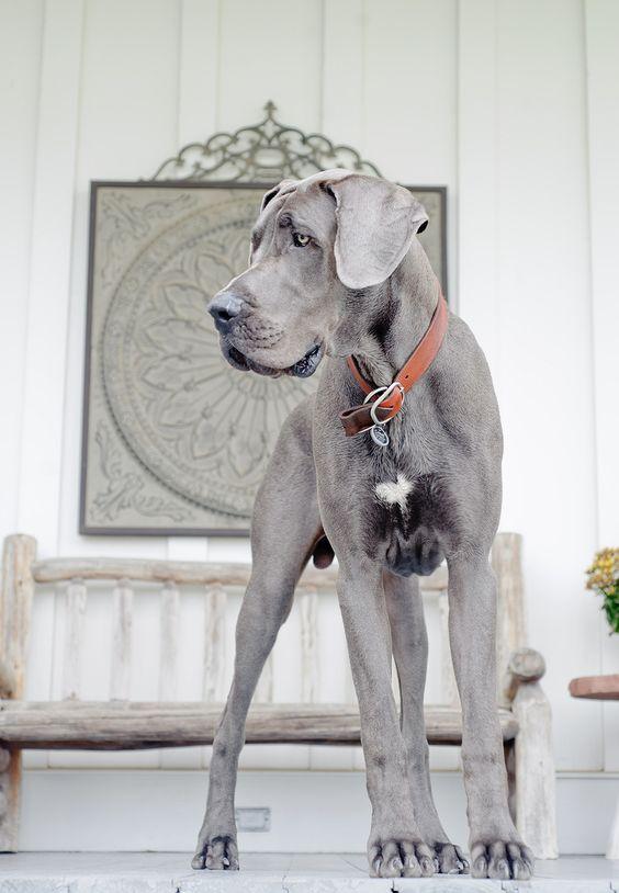 razas de perros más glotones gran danes