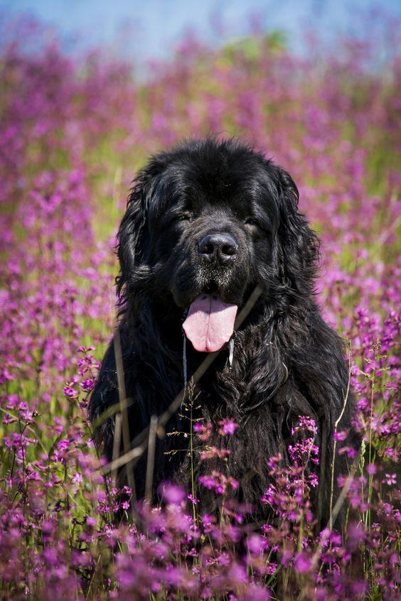 razas de perros que comen mucho terranova
