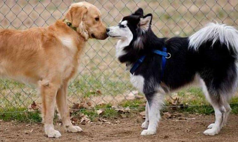 sintomas de celo en las perras