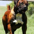 Todo lo que necesitas saber sobre el perro boerboel o mastín africano