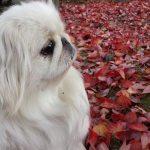 Todo lo que necesitas saber sobre la raza de perro pekinés