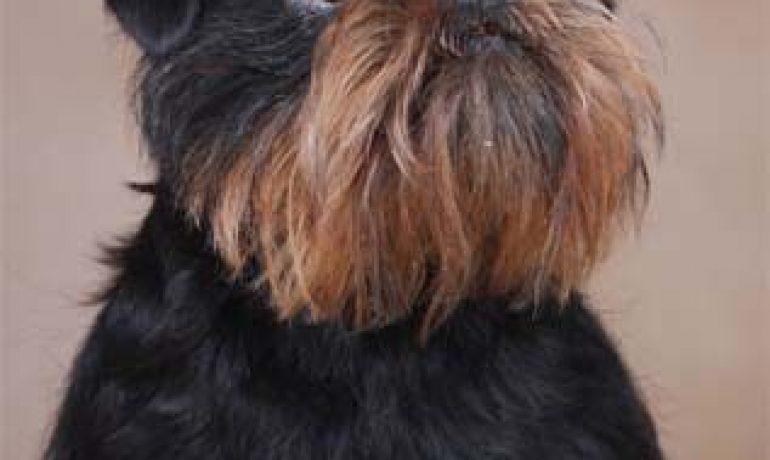 Todo sobre el precioso perro de raza Grifón Belga