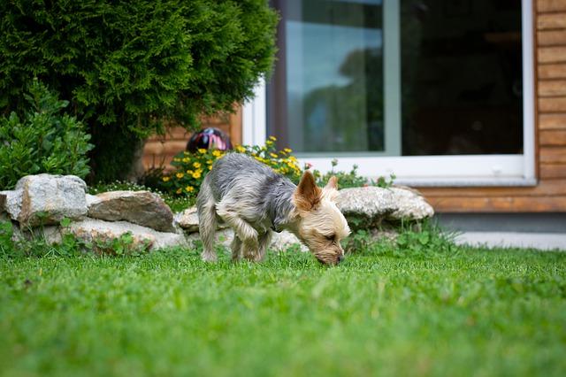 Mi perro come hierba con demasiada frecuencia