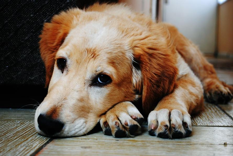 ventajas de adoptar a un perro anciano