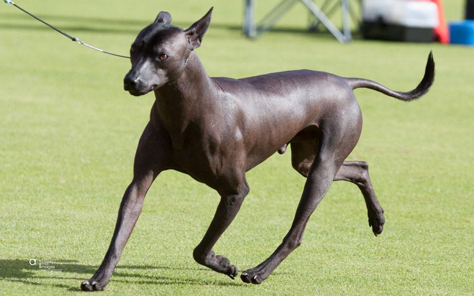 ¿Suelen tener buena salud los perros xoloitzcuintle?