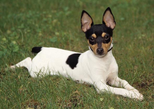 caracter de la raza rat terrier