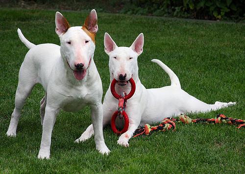 Cómo son los perros de raza bull terrier inglés