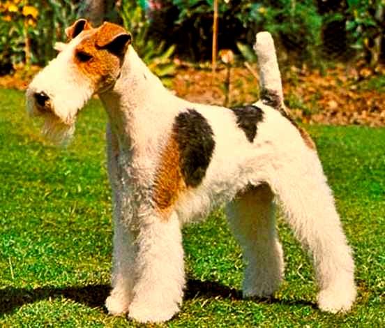 Características físicas del fox terrier de pelo alambre