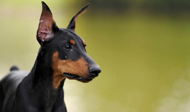 Cómo cuidar a un perro doberman pinscher