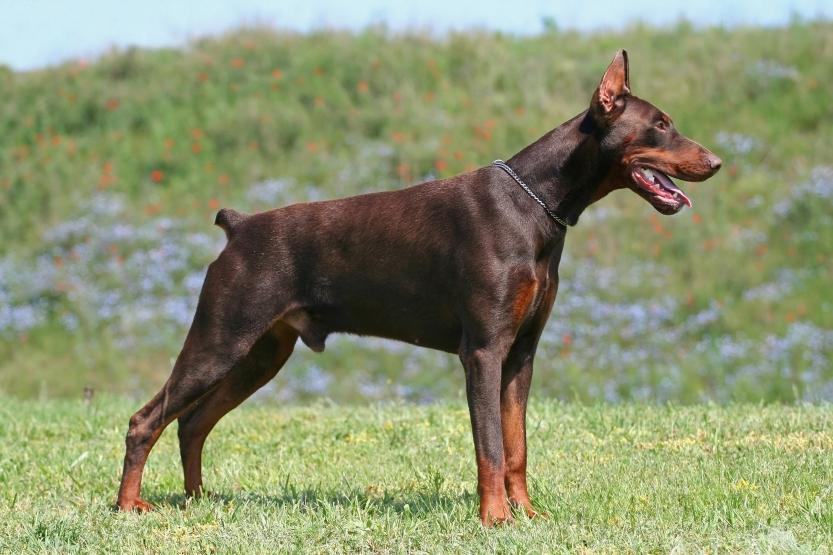 Características de los perros dobermann pinscher