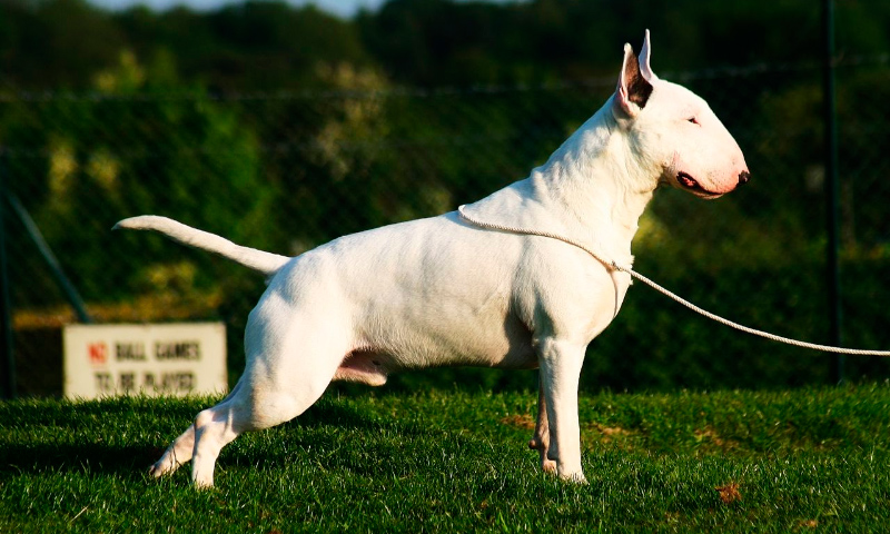 Características físicas de la raza bull terrier inglés