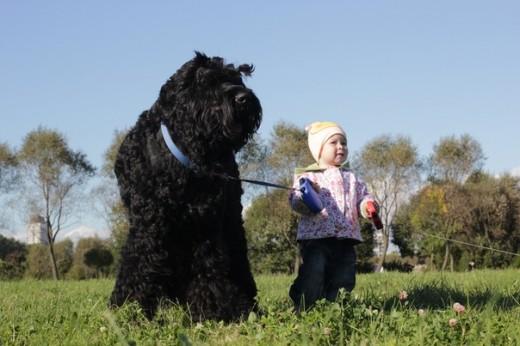 Características físicas del perro terrier negro ruso