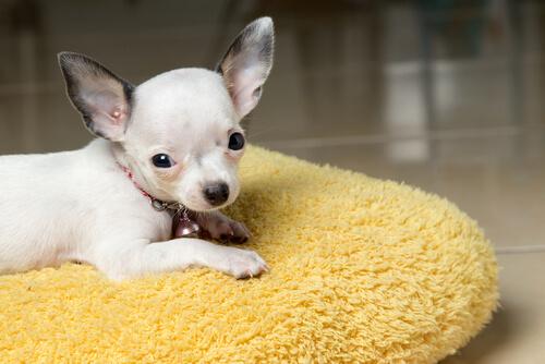 Causas de la luxación del cristalino en perros