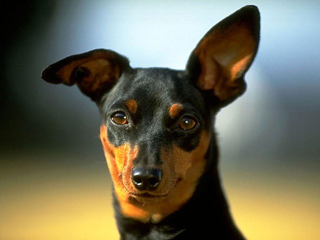 Causas más comunes de la otitis canina