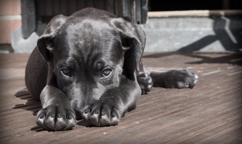 Coronavirus en perros o coronavirus canino
