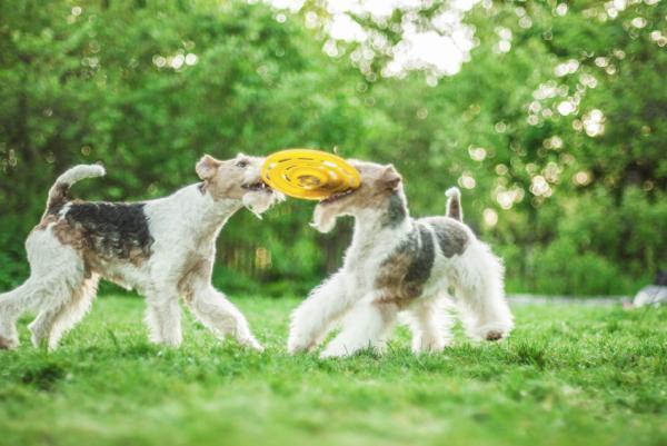 Cuidados del fox terrier de pelo alambre