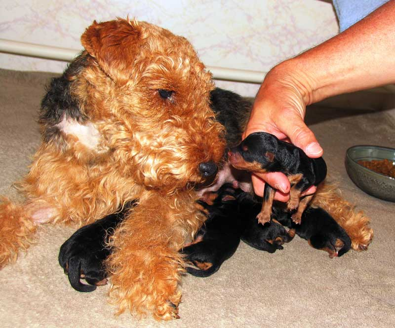 Cuidados que necesita un Welsh Terrier