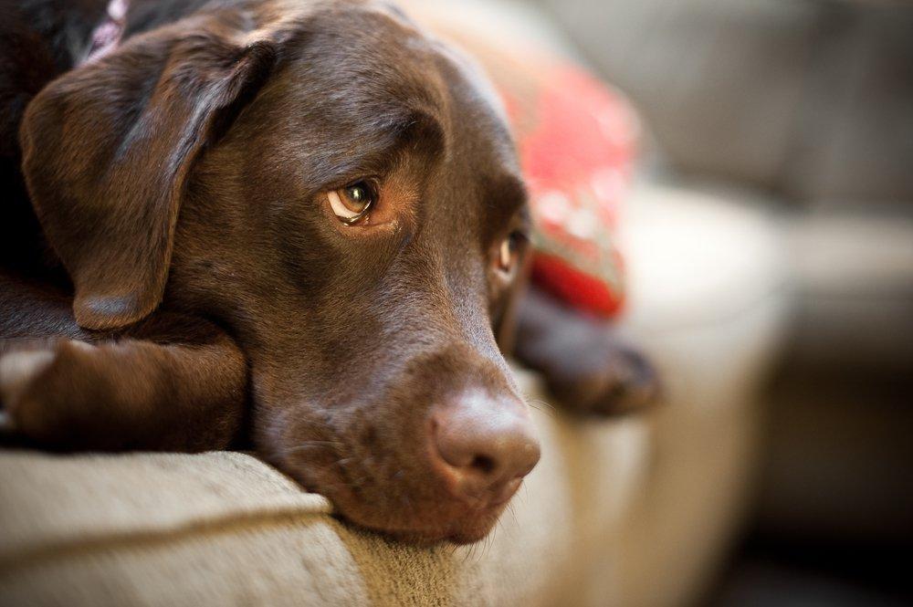 pipi amarilla en perros