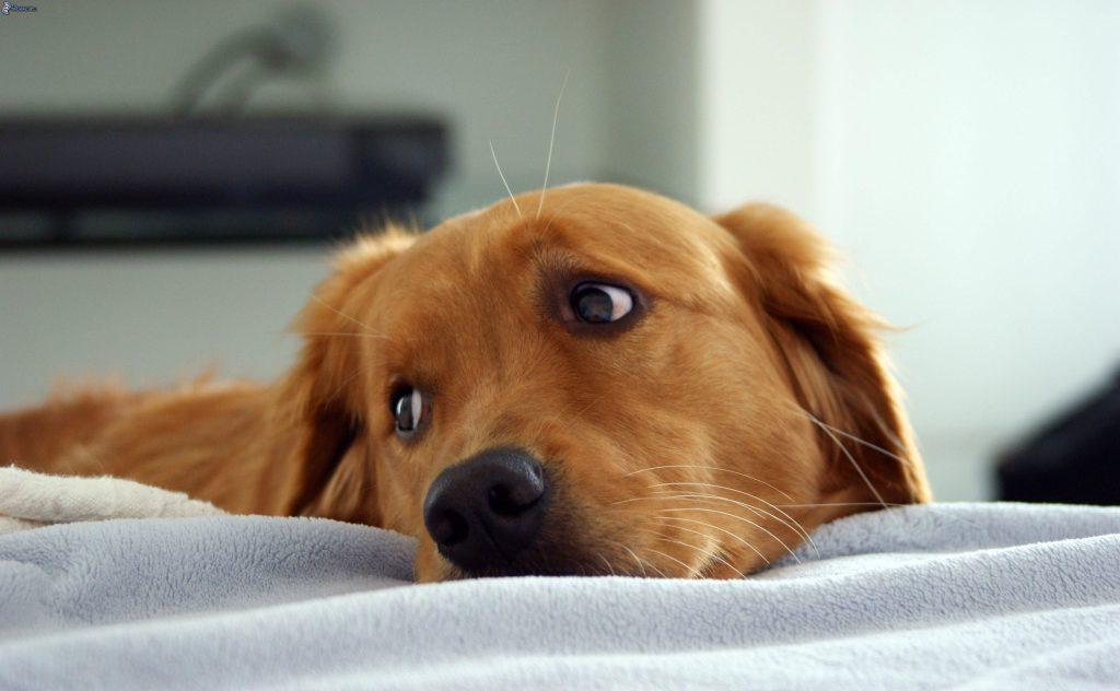 Diarrea amarilla en perros