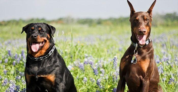 Diferencias entre los perros de la raza Rottweiler y los perros Doberman