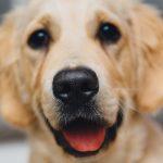 Distiquiasis en perros