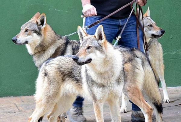 El caracter del perro lobo checoslovaco
