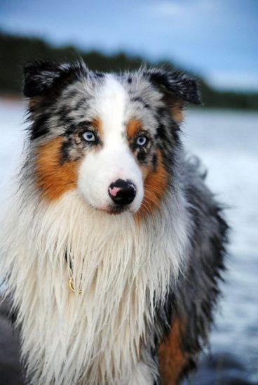 El síndrome de Pelger Huet en perros