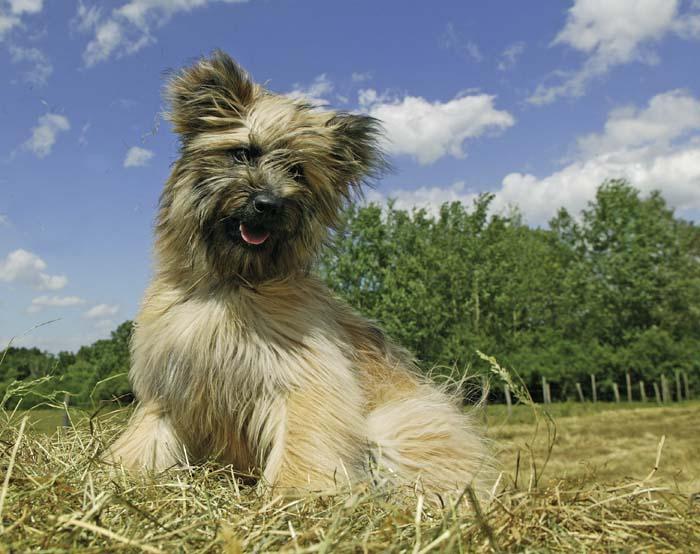 En que se caracterizan los perros pastores del pirineo de pelo largo