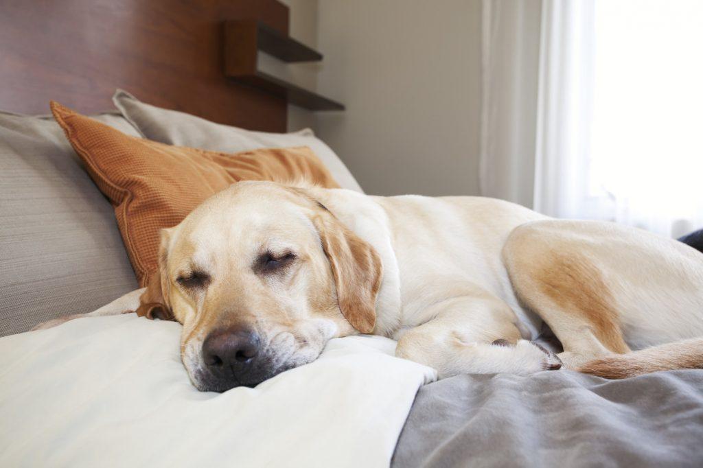 Enfermedad de Addison en perros