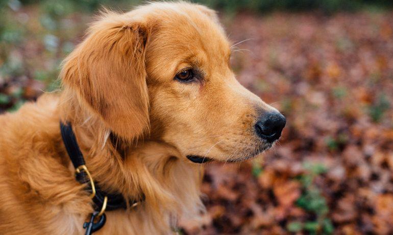 Enfermedad de Von Willebrand en perros