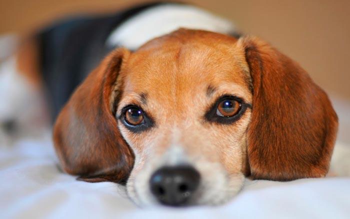Las miradas de tu perro durante su adiestramiento