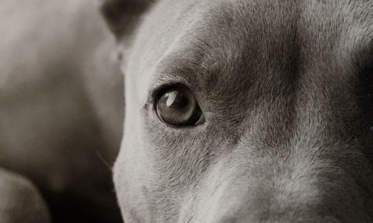Los perros pit Bull, ¿son peligrosos?