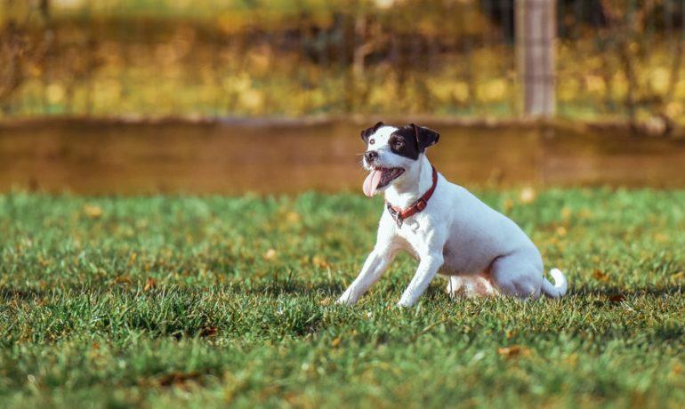 Luxación del cristalino en perros